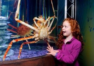 Japanese Spider Crabs at Sea Life London Aquarium, an official K-Rated Attraction Sea Life London Aquarium KidRated Reviews