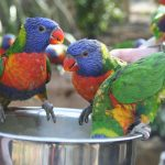 Wild Asian Lorikeets Chessington world of adventures KidRated reviews kids family offers london