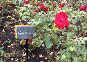 Regent's Park Roses Weekend Picks Ingrid Bergman