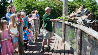 zookeeper feeds giraffes at London Zoo as kids watch