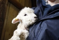 Lambs at Forty Hill Farm Enfield
